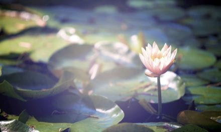 Lotus Flower: Meaning and Symbolism