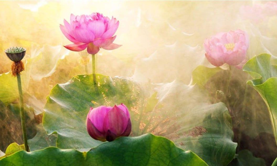 Symbolism of the Lotus Flower